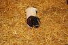 AStroh als Beschäftigungsmaterial für Schweine