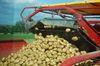 IJKI forscht an der Energiekartoffel. Foto: Peter Gaß