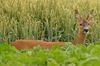 Zecken, die an einem Reh saugen, verlieren ihre gefährliche Wirkung. Foto: Peter Gaß