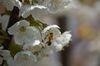 Seit 2000 sind Millionen von Bienen verschwunden. Foto: Peter Gaß