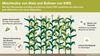 Mischkultur Mais und Bohnen. Grafik: KWS Saat se