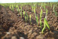 Auflauf von Getreide. Foto: Peter Gaß