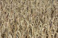 Weizen, reif. Foto: Peter Gaß