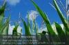 s01-03-mais-bluete-himmel-hoch-gut.jpg