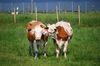 Kühe flüstern sich Geheimnisse zu