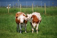 Kühe flüstern sich Geheimnisse zu, Foto: Peter Gaß, www.der-landwirt-schafft.de